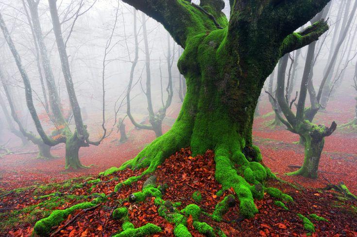 Un bosque que parece encantado en el País Vasco (Hayedo de Otzarreta)