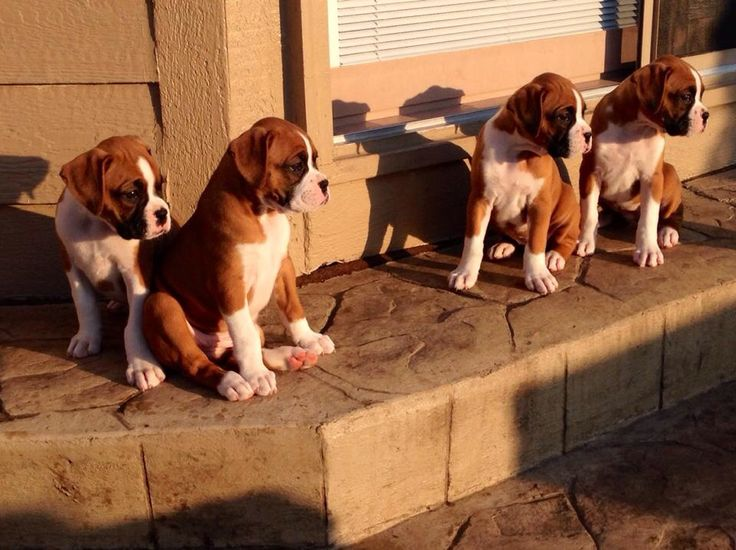 Boxer Pups For Sale!! I want them all!!!