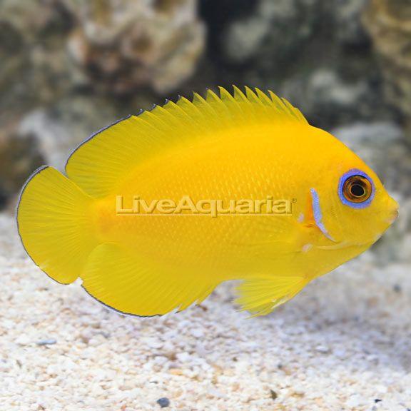 Fijian Lemon Peel Angelfish Aquarium Fish Fish Beautiful Fish