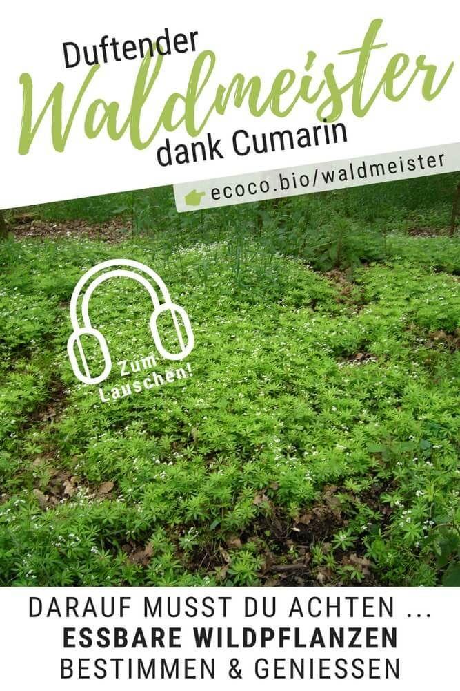 Duftender Waldmeister Dank Cumarin Wildpflanzen Bestimmen Geniessen Podcast Folge 111 Waldmeister Wildpflanzen Bestimmen Pflanzen
