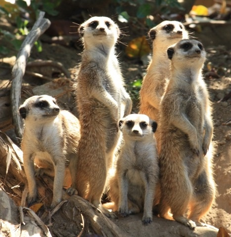 Meerkats-San Diego Zoo 7/26/10