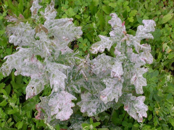 Lutte et traitements biologiques contre l'oïdium ! | Blog Jardin Alsagarden - le magazine des jardiniers curieux