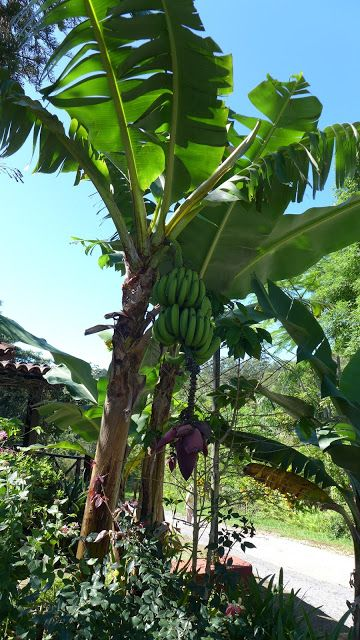 #Bananen #Bananenstaude auf #Kuba