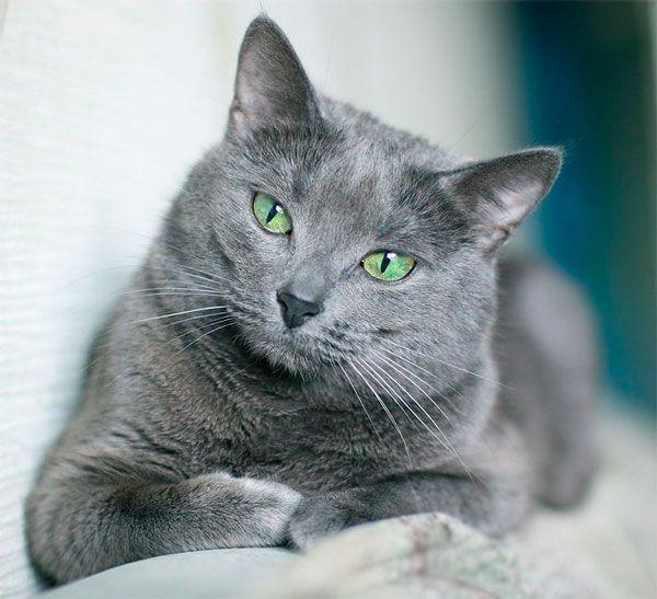 Gato Azul Russo  quanta elegância!..