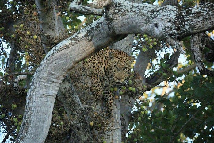 Big male at Kwetsani #OkavangoDelta #Botswana