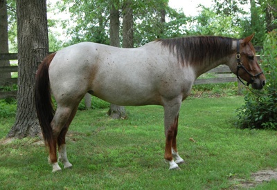 Red Roan Foundation Quarter Horse | Horses I Wish I Owned ...