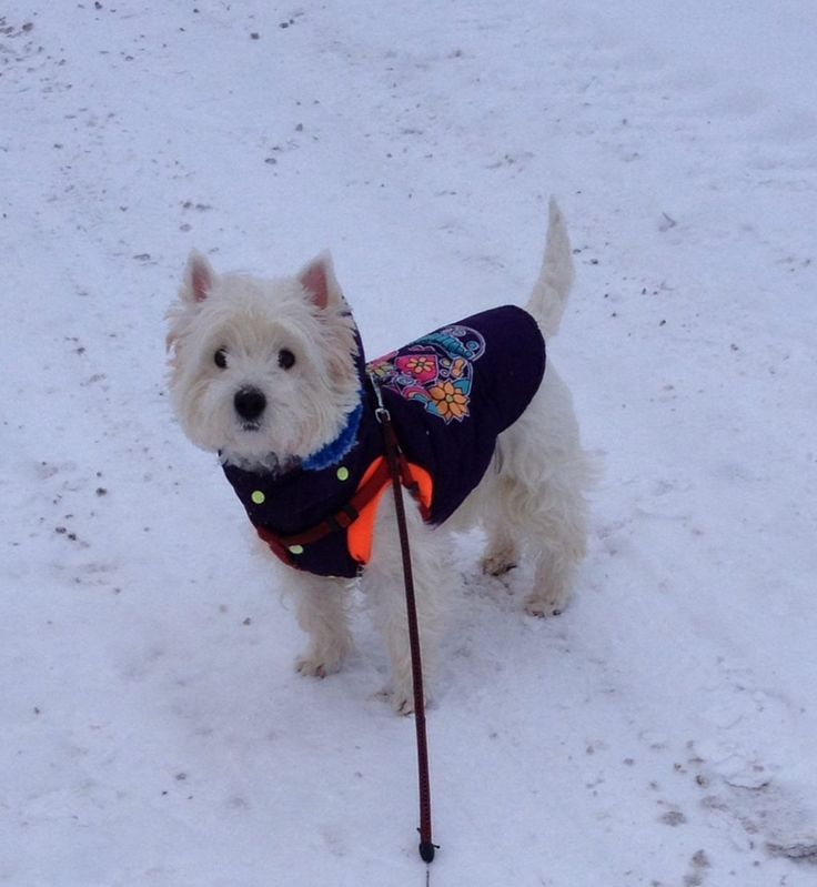 Bella e atat de scumpa in jacheta de la King Maru --> https://kingmaru.ro/  #hainecaini #accesoriicaini #imbracamintecaini #caine #caini #catel #catei #dog #dogs #kingmaru