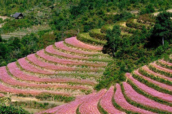 Ha Giang flower field ( Tam Giac Mach )