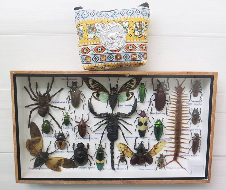 Real Scorpion Cicada Spider Centipede Insect Taxidermy Display Framed Box Gift