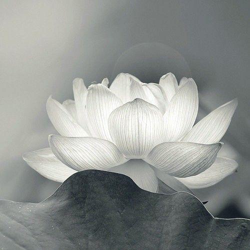 Translucent lotus flower