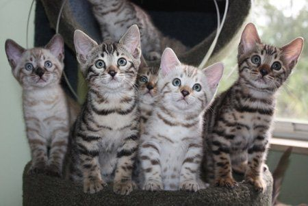 Bengal kittens, ZawieCo Bengal cat breeders, Bengal kittens for sale in Florida, Bengal cats for sale Florida, Bengal kittens for sale Florida, Snow bengals, Charcoal bengals, Charcoal snow bengals