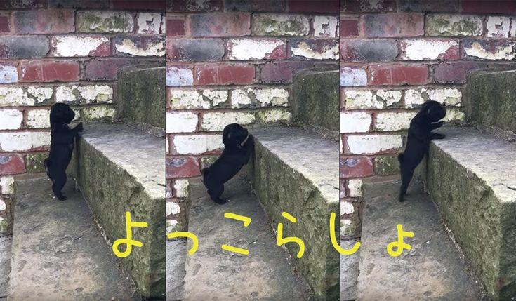 ステップアップ階段登り失敗してもチャレンジし続ける黒パグ子犬