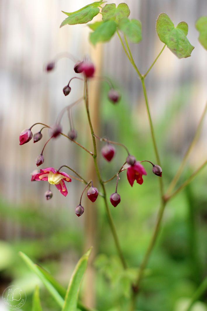 Oravankesäpesä | Varjohiippa Epimedium