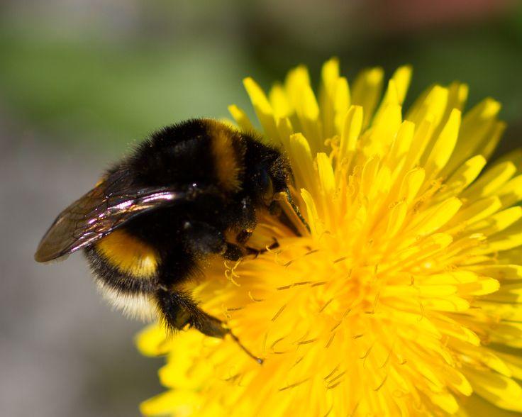Bumblebee on dandelion :)