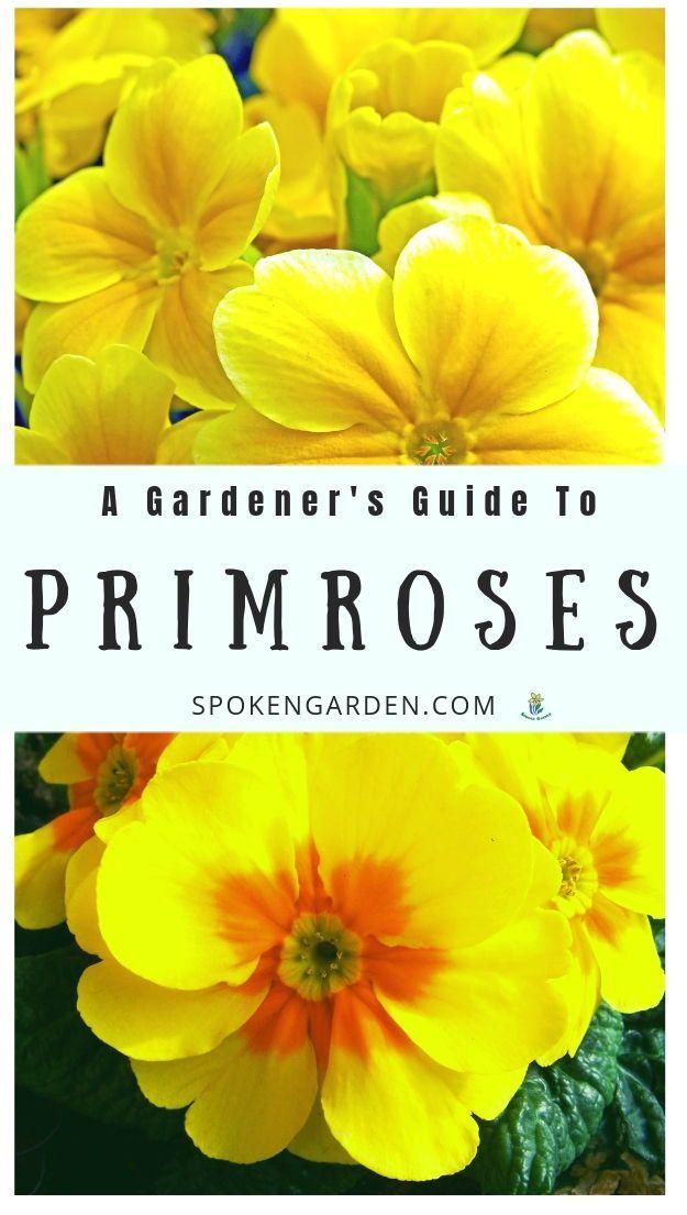 Primrose A Gardener S Guide And Plant Profile Primrose Plant