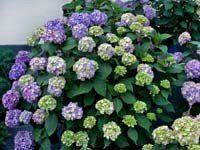 Endless Summer Bloomstruck Hydrangea too big around the deck