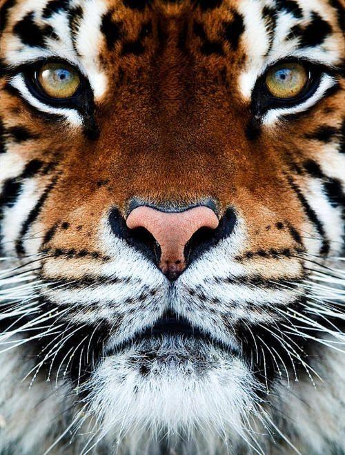tiger by deidre