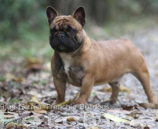 Foto no álbum Bulldog francês Venda Mini Bulldog - Google Fotos