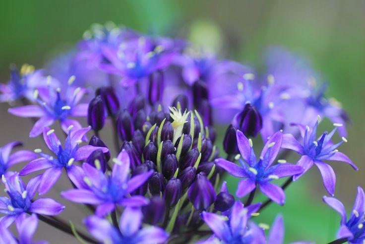 Blue Purple | by littlekiss☆