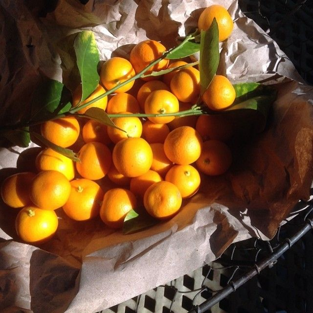 Harvesting #cumquats this morning from the tree in my little garden. These ones I will steep in fine brandy then, in about 18 months time, I will use them to make a cumquat conserve to accompany my dark #chocolate cakes. The residual cumquat brandy I'll use to soak the jewelled, dried fruits for my cakes and tarts at Christmas time. And the remainder- well, that will be drunk to welcome in the New Year:)   #homegrown #organic #cumquat #perfumedgarden #labouroflove #everydaylives #brisbane…