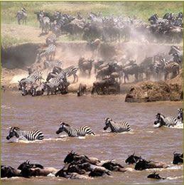 wildlife migration from Serengeti National Park in Tanzania to Masai Mara National Reserve in Kenya.  Photo: Nature man2 via flickr
