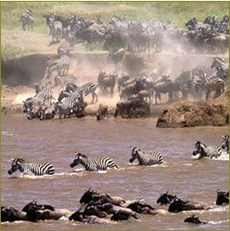 wildlife migration from Serengeti National Park in Tanzania to Masai Mara National Reserve in Kenya.  Photo: Nature man2 via flickr