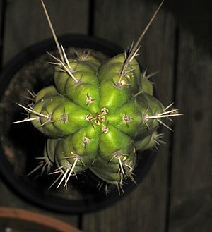 Echinopsis Peruviana (echinopsis peruviana): Echinopsis peruviana (syn. Trichocereus peruvianus), Peruvian torch cactus, is a fast-growing columnar cactus native to the western slope of the Andes in Peru, between about 2,000–3,000 m (6,600–9,800 ft) above sea level. It contains the psychoactive alkaloid mescaline as well as other alkaloids, although reported levels vary considerably and do not approach the concentrations found in Echinopsis pachanoi…