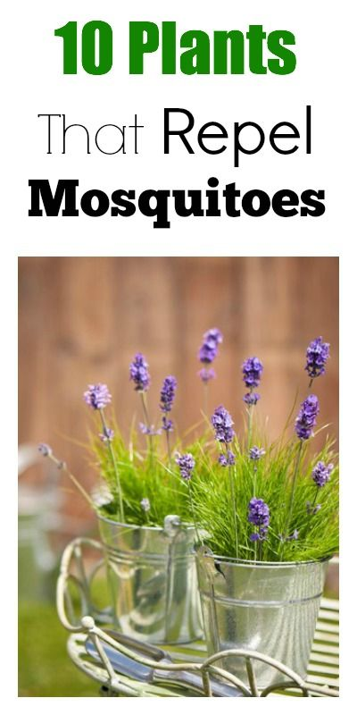 10 plants that repel mosquitoes oh boy do we need this i want to use plants like this near. Black Bedroom Furniture Sets. Home Design Ideas