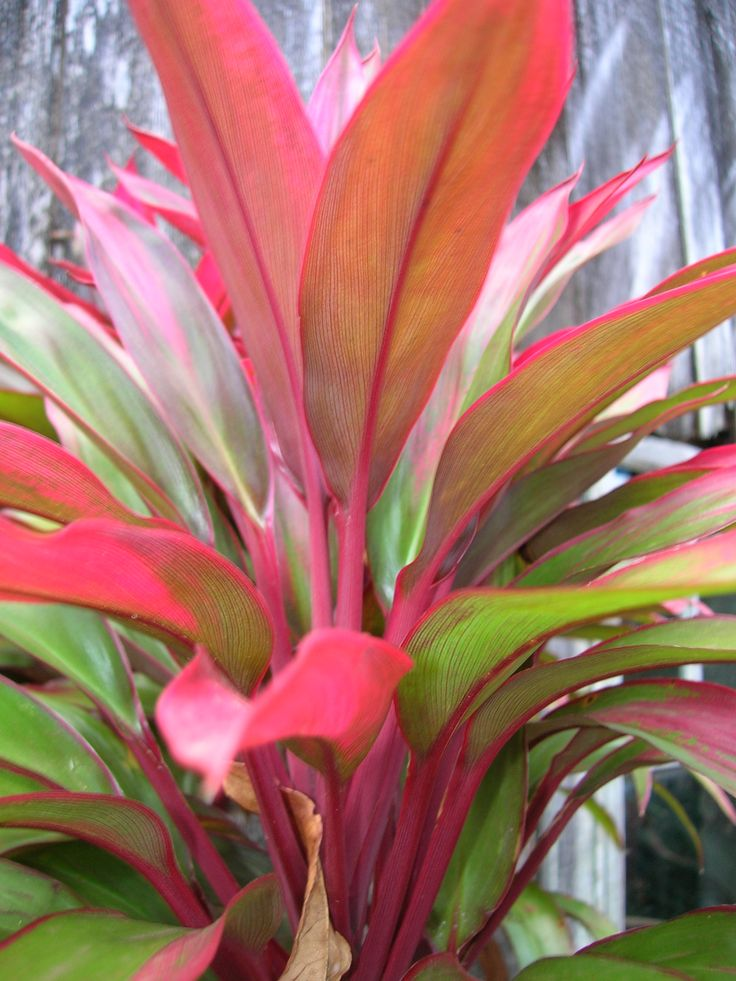 Cordyline fruticosa - middle level planting, need 3 - 5 of these , bright red foliage.