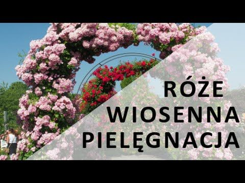 (25) Pielęgnacja róż - WIOSNA - YouTube