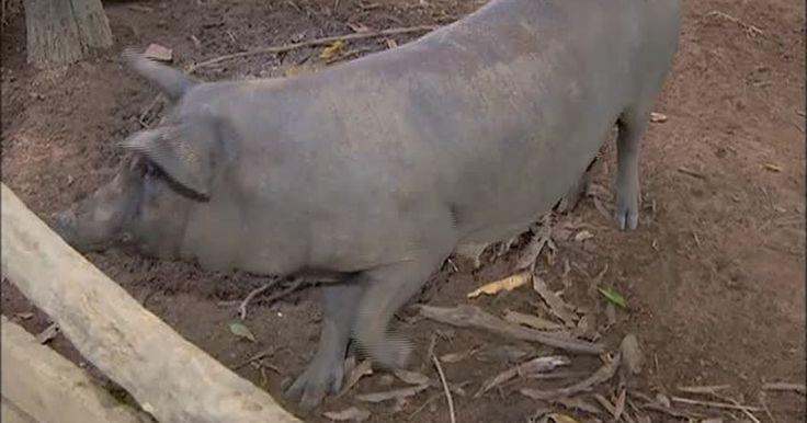 Porco hermafrodita surpreende produtor rural no Tocantins