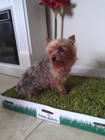 Fresh Patch Indoor Dog Potty - Product Review And Tips | It