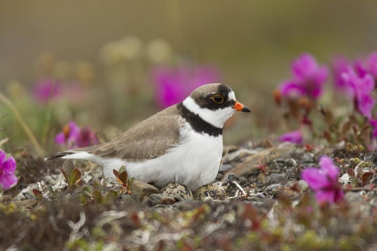 https://flic.kr/p/DxAxpo | Semi-palmated Plover on nest in Nome | We have two spots left for our 2016 Nome, Alaska trip: www.studebakerstudio.com/nomealaska