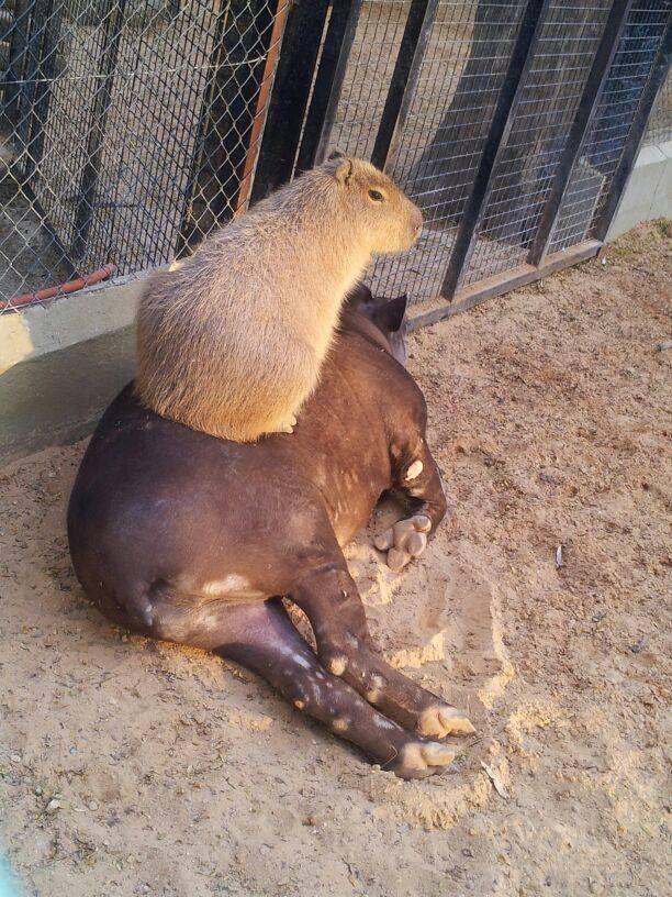 1000 Images About Tapir S Amp Capybara S On Pinterest
