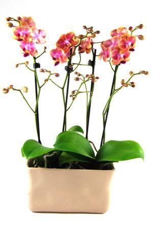 Orchidee Phalaenopsis Qatar in gedeukt 'Crushed' beige keramiek. Rechthoekig keramiek met 4 takken en minimaal 35 bloemen.