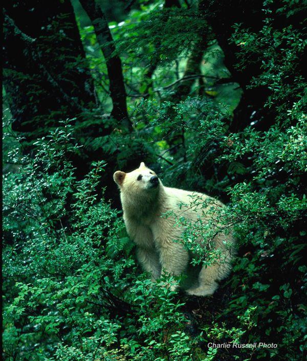 Spirit bear of British Columbia // Charlie-Russell-057 Spirit Bear - Kermode