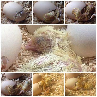 Así nace un pollito