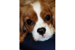 How to Bathe and Groom a Cavalier King Charles Spaniel | eHow