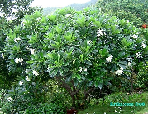 Google Image Result for http://www.greengardeningcookingcuring.com/F/Frangipani-Tree-in-Flower.jpg