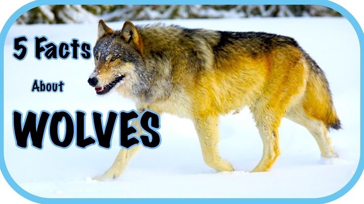 Five Facts About Wolves - Wolf Facts, For Kids