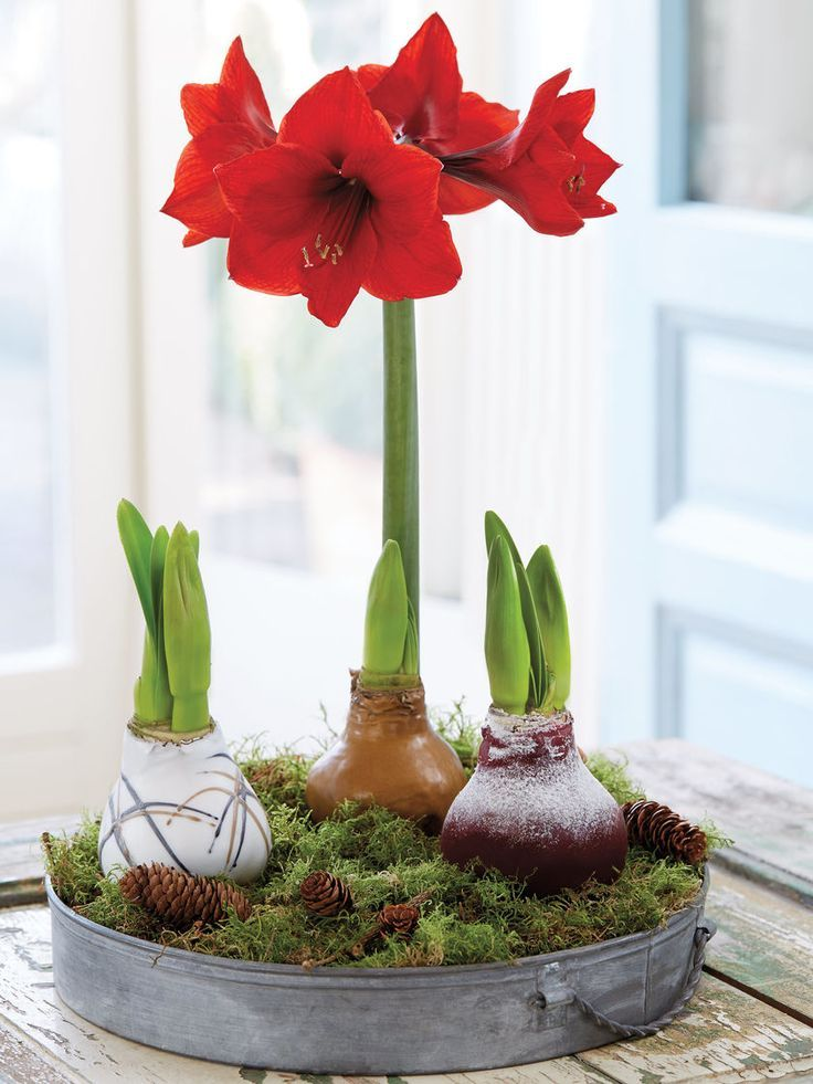 Red Amaryllis Easy Care Waxed Amaryllis Red Lion Amaryllis Red Amaryllis Easy Care Waxed Amaryllis Red L Amaryllis Care Red Amaryllis Amaryllis Bulbs