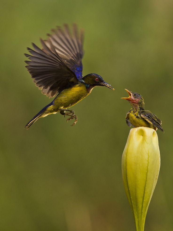 Burung Kolibri - Burung Penghisap Madu - Brown Throated Sunbird - Nectariniidae| Flickr - © Sijanto Nature