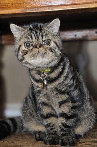 Flat-Faced Cat Breeds
