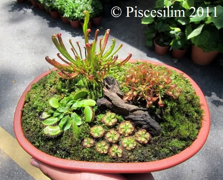 Carnivorous Plants for Sale in Penang Orchid Show 2011 - PetPitcher Forum