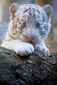 Beautiful little white tiger cub