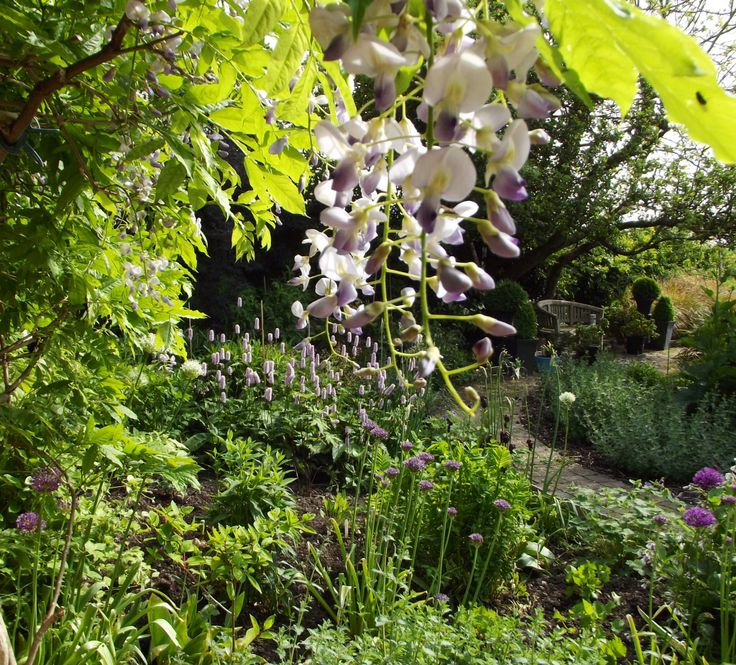 Wisteria , Alliums and Persicaria