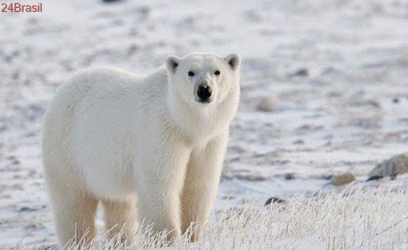 Poluentes químicos também ameaçam a sobrevivência de ursos polares