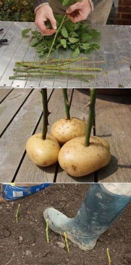 Rozen stekken in een aardappel. Niet echt voor eten, maar mét eten