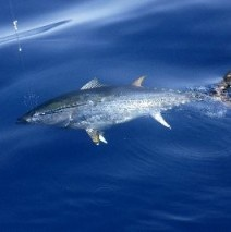 Facts and Information about Atlantic Bluefin Tuna. Atlantic Bluefin Tuna, Behavior, Feeding, Reproduction, Atlantic Bluefin Tuna threats and more