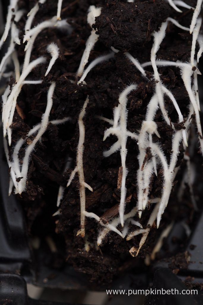 A closer look at the Lathyrus odoratus roots developing inside the Deep Rootrainers.